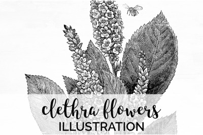 Floral - Clethra Flowers Vintage Clipart Graphics