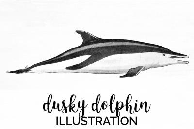 Dusky Dolphin Vintage Clipart Graphics