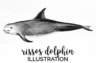 Rissos dolphin Vintage Clipart Graphics