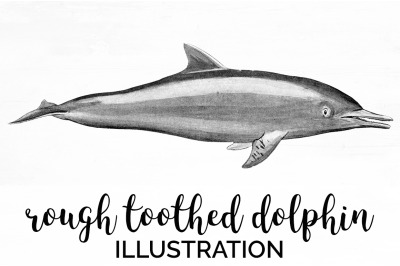 Rough toothed Dolphin Vintage Clipart Graphics