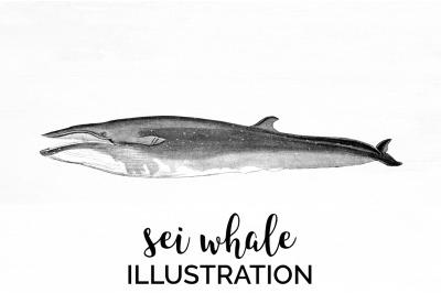 Sei Whale Vintage Clipart Graphics