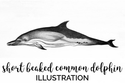 Short Beaked Common Dolphin Vintage Clipart Graphics