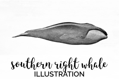Southern RIght Whale Vintage Clipart Graphics