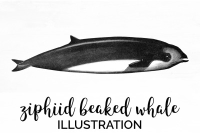 Ziphiid Beaked Whale Vintage Clipart Graphics