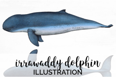 Irrawaddy dolphin Vintage Clipart Graphics