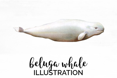 Beluga Whale Vintage Clipart Graphics