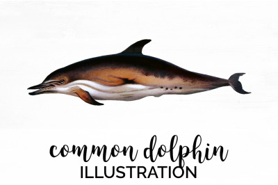 Common Dolphin Vintage Clipart Graphics