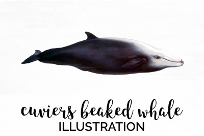 Cuviers Beaked Whale Vintage Clipart Graphics