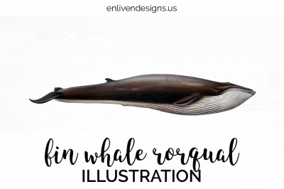 Fin Whale Rorqual Vintage Clipart Graphics