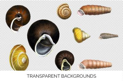 Shells - Helix Shells Vintage Clipart Graphics