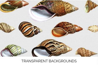 Shells - Volula Shells Vintage Clipart Graphics