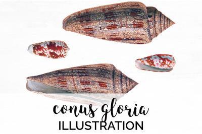 Shells - Conus Gloria Vintage Clipart Graphics