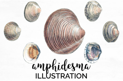 Shells - Amphidesma Vintage Clipart Graphics