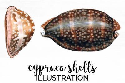 Shells - Cypraea Shells Vintage Clipart Graphics
