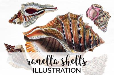 Shells - Ranella Shells Vintage Clipart Graphics