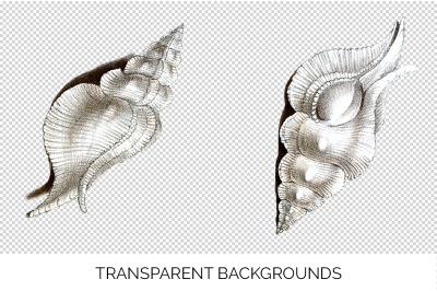 Shells - Murex White Shells Vintage Clipart Graphics