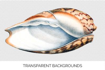 Shells - Clouded Melon Volute Vintage Clipart Graphics