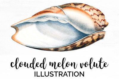 Shell Clipart - Clouded Melon Volute Vintage