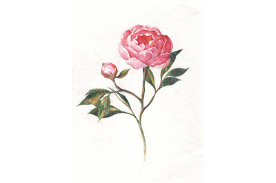 Hand-drawn watercolor and pencil peony illustration