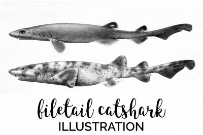 Sharks - Filetail catshark Vintage Clipart Graphics