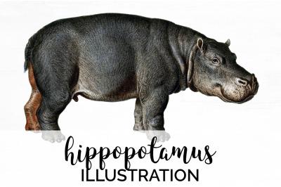 Hippo Hippopotamus Clipart