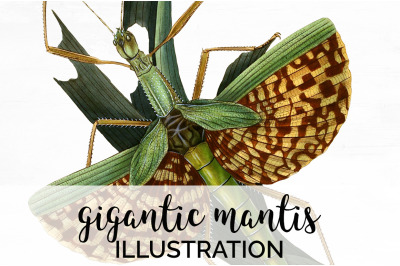 Insects - Mantis Vintage Clipart Graphics