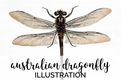 Insects - Australian Dragonfly Vintage Clipart Graphics