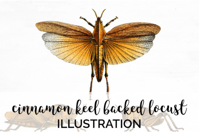 Insects - Cinnamon Keel Backed Locust Vintage Clipart Graphics