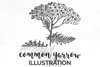 Flowers - Common Yarrow Vintage Clipart Graphics Black and White