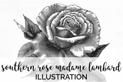 Flowers - Southern Rose Madame Lambard Vintage Clipart Graphics