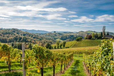 Late summer day / wineyards