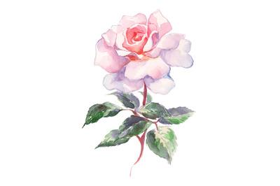 Watercolor pink rose sketch