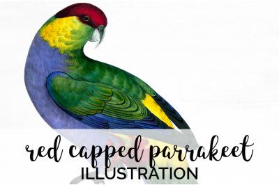 Parrot Clipart Parakeet