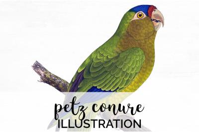Parrot Clipart Conure