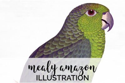 Parrot Clipart Amazon