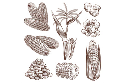 Sketch corn. Hand drawn vintage drawing cereal plants agriculture maiz