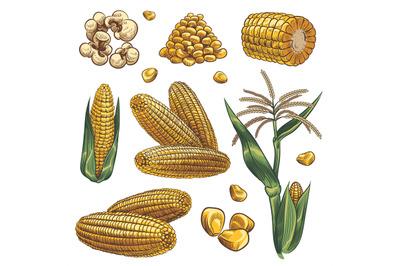 Hand drawn corn. Cereal maize plants, corn cob and grains vegetarian f