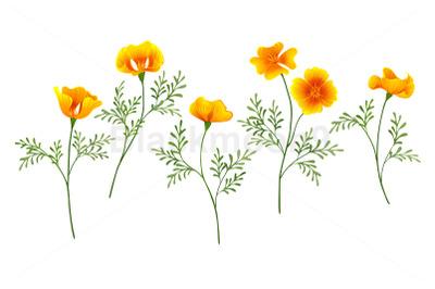 California Poppy Set