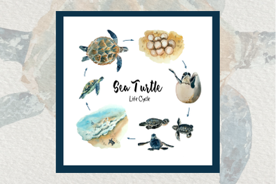 Watercolor Sea Turtle Life Cycle Clip Art and Print