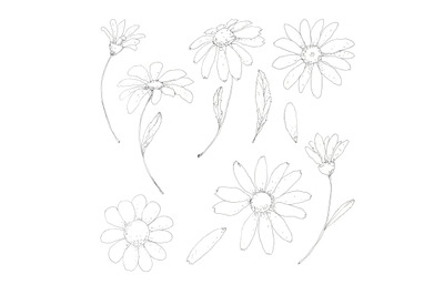 Chamomile, daisy floral set hand drawn in pen ink