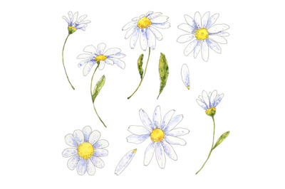 Chamomile, daisy floral set hand drawn in watercolor