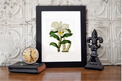 Magnolia Vintage Flowers, Botanical Illustration of Magnolia