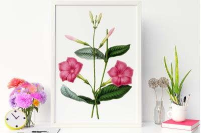 Elegant Retro Pink Flower, Vinage Illustration of Flower