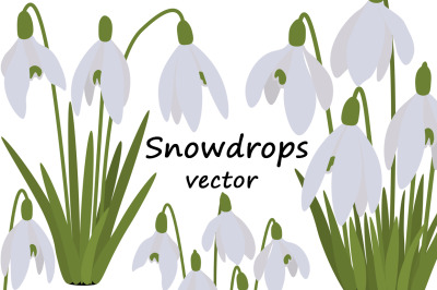 Set of spring vector snowdrops flowers illustrations