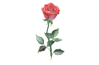 Watercolor and pencil red rose illustration