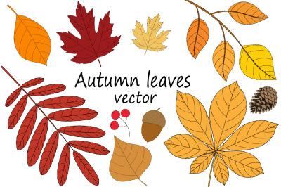 Autumn leaves vector illustration.