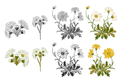 Botanical hand drawn bouquet of flowers chamomile isolated on white