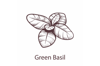 Basil icon. Botanical hand drawn sketch for labels and packages restau