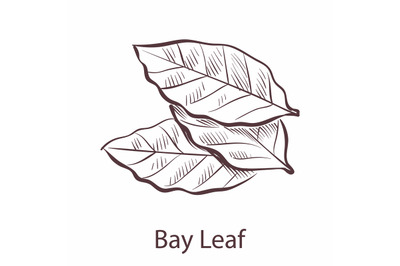 Bay leaf. Engraved style illustration of seasoning laurel, botanical s