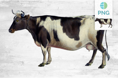 Cow Clipart Zetland